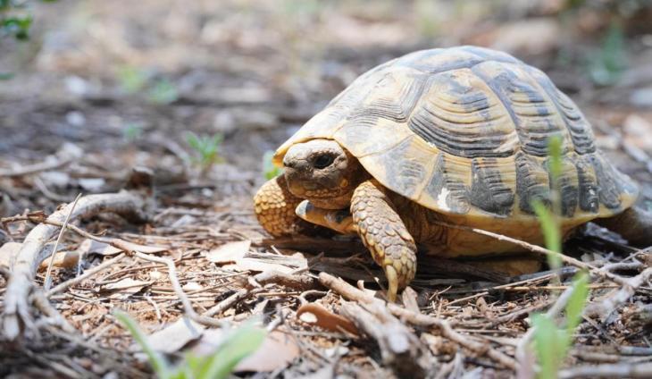 El Govern allibera 217 exemplars de tortuga Mediterrània a Felanitx