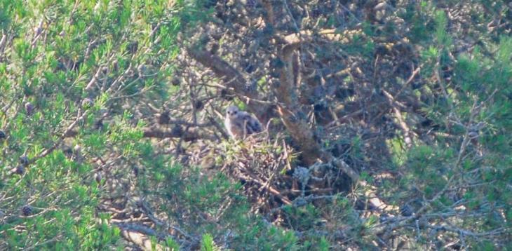 L'aligot nidifica per primera vegada al Parc Natural de Mondragó