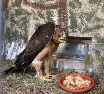 Cedeixen un poll d'àguila coabarrada a Madrid