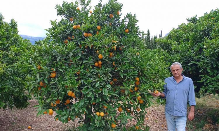 La Indicació Geogràfica Protegida de la taronja de Sóller, en la recta final